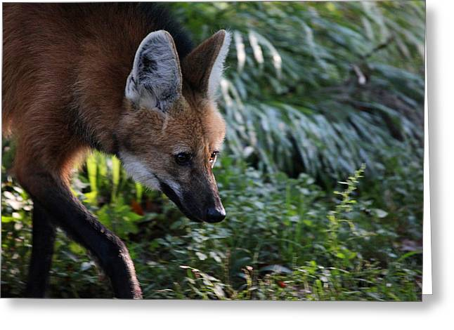 Maned Wolf Greeting Card by Karol Livote