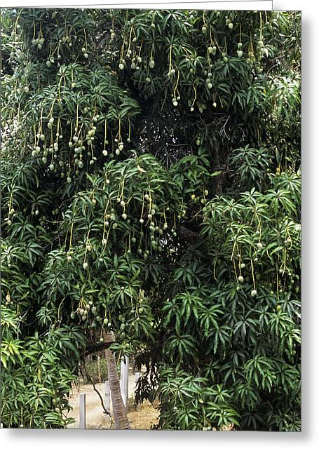 Mango Tree Greeting Card by Veronique Leplat