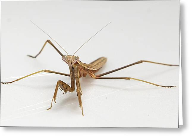 Greeting Card featuring the photograph Mantis 1 by John Crothers