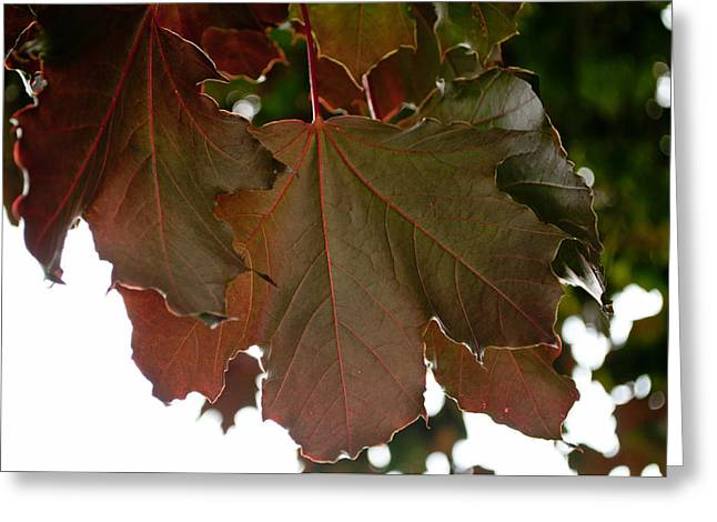 Greeting Card featuring the photograph Maple 2 by Tikvah's Hope