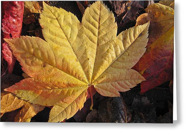 Maple Leaf Close Up  Greeting Card by Robert  Perin