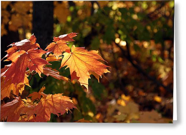 Maple Leaf Glow Greeting Card by James Hammen