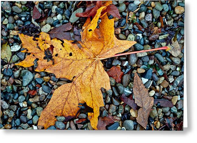Maple Leaf On The Rocks Greeting Card by Tikvah's Hope