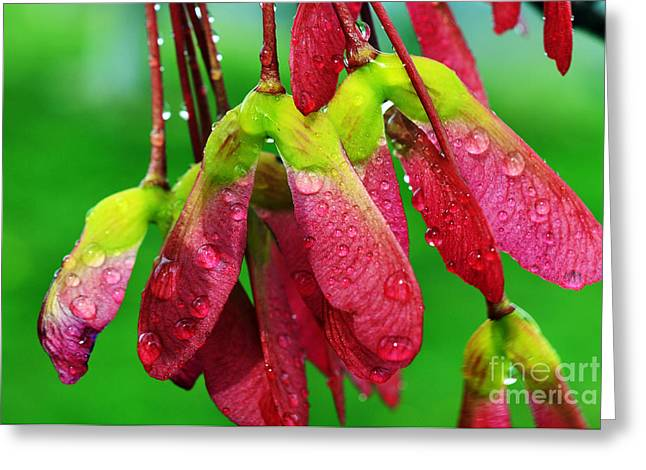 Maple Seeds In The Rain Greeting Card