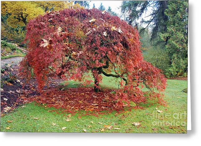 Maple Shower Greeting Card by Bill Thomson