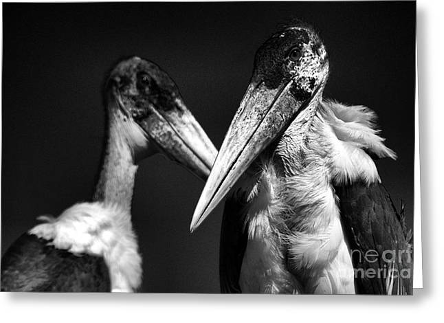 Marabou Stork Greeting Card