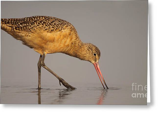 Marble Godwit Feeding Greeting Card by Max Allen