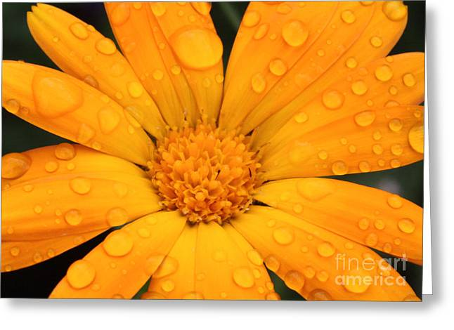 Marigold Greeting Card by Jo