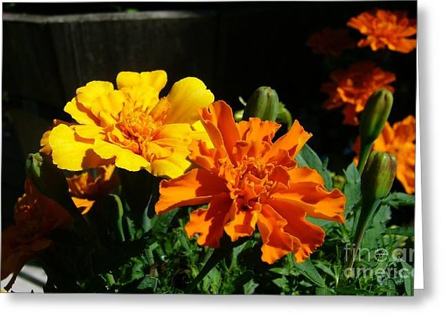 Greeting Card featuring the photograph Marigold Morning Glory by Jim Sauchyn