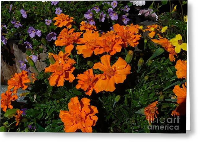 Greeting Card featuring the photograph Marigolds by Jim Sauchyn