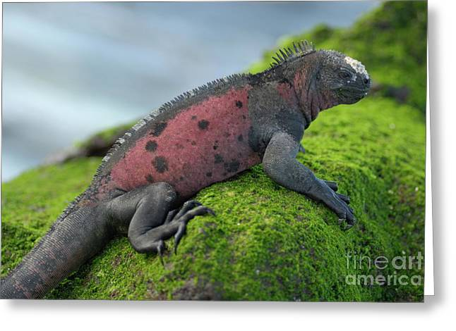Marine Iguana On Rock Covered With Green Seaweed Greeting Card by Sami Sarkis