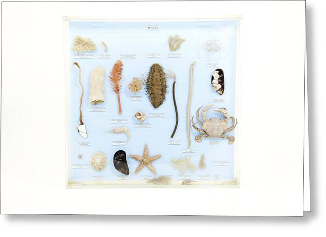 Marine Life Specimens Greeting Card by Gregory Davies, Medinet Photographics