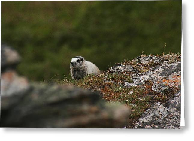 Marmot Denali National Park Greeting Card