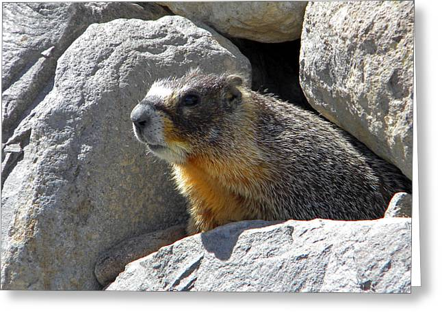 Marmot Emerging From Den Greeting Card by Frank Wilson
