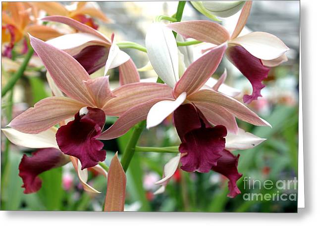 Greeting Card featuring the photograph Maroon Bloom by Debbie Hart