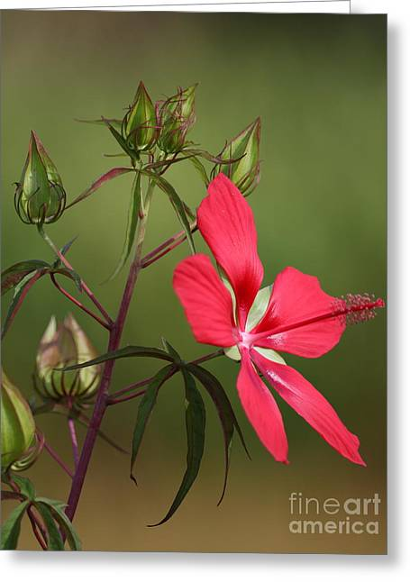 Greeting Card featuring the photograph Marsh Hibiscus by Jennifer Zelik
