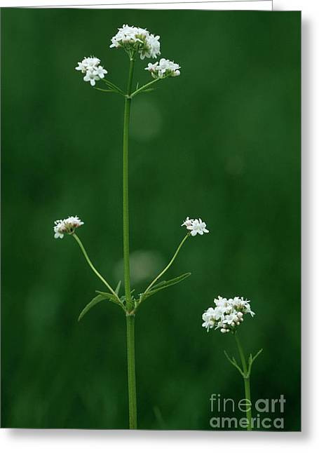 Marsh Valerian Flowers (valerian Dioica) Greeting Card by Bob Gibbons