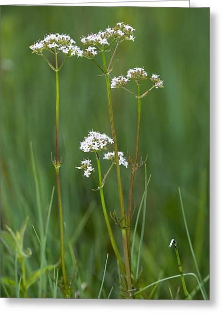 Marsh Valerian (valeriana Dioica) Greeting Card by Bob Gibbons