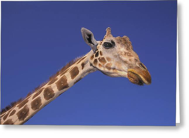 Masai Giraffe, Serengeti, Africa Greeting Card by Thomas Kitchin & Victoria Hurst