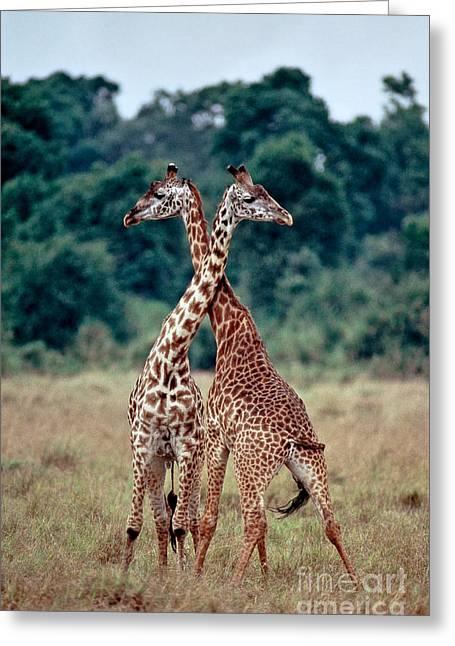 Masai Giraffes Necking Greeting Card by Greg Dimijian