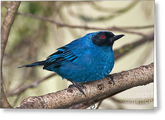 Masked Flowerpiercer Greeting Card