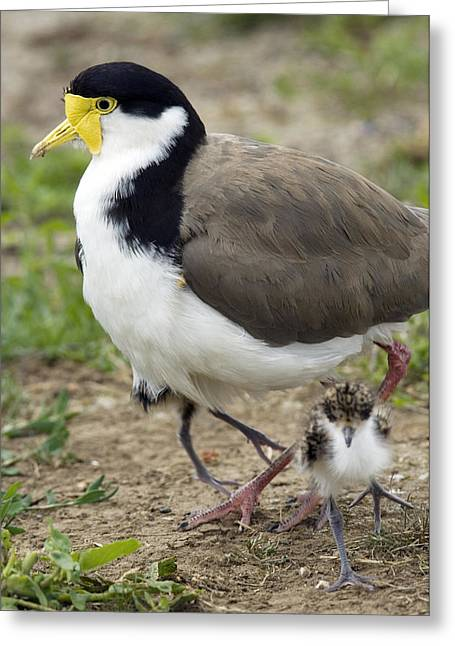 Masked Lapwing And Chick Greeting Card