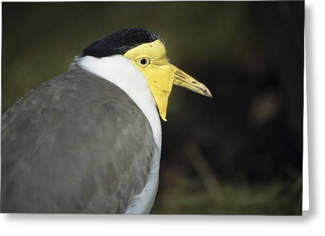 Masked Plover Greeting Card