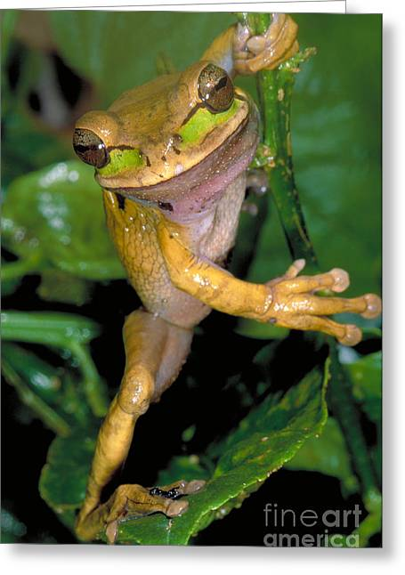 Masked Treefrog Greeting Card by Gregory G. Dimijian