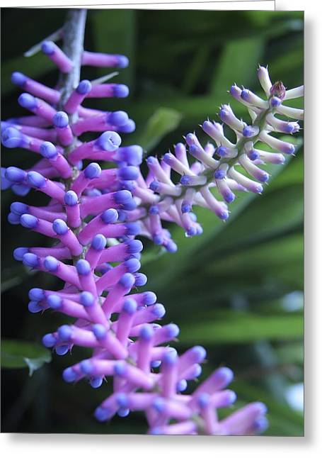 Matchsticks Bromeliad (aechmea Sp.) Greeting Card