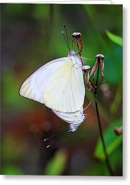 Greeting Card featuring the photograph Mating Butterflies- St Lucia by Chester Williams