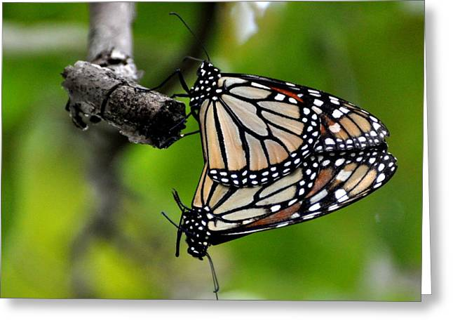 Mating Monarchs Greeting Card by Marty Koch