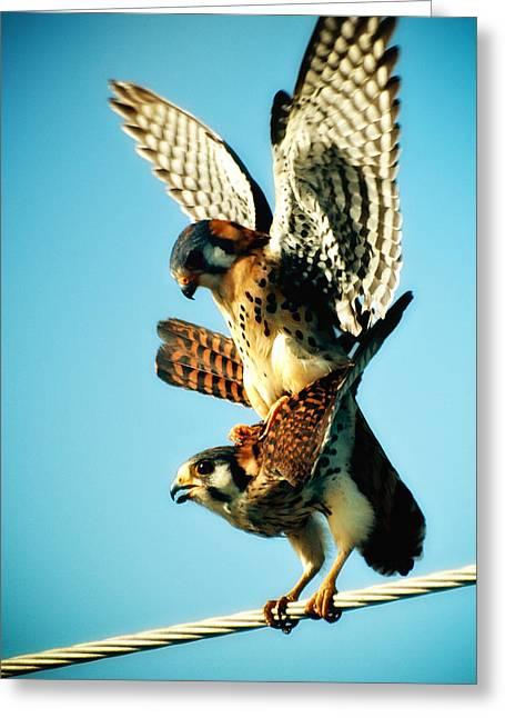 Matting Hawks Greeting Card