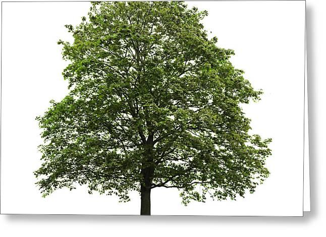 Mature Maple Tree Greeting Card by Elena Elisseeva