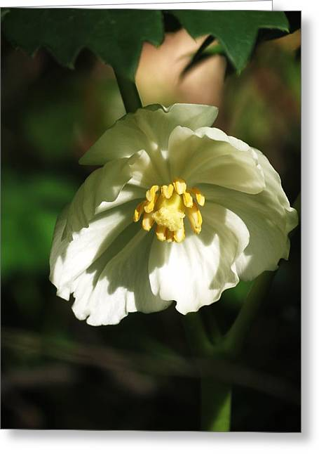Mayapple Blossom Greeting Card by Rebecca Overton