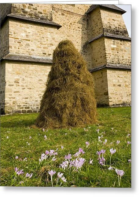 Meadow Saffron (colchium Autumnale) Greeting Card