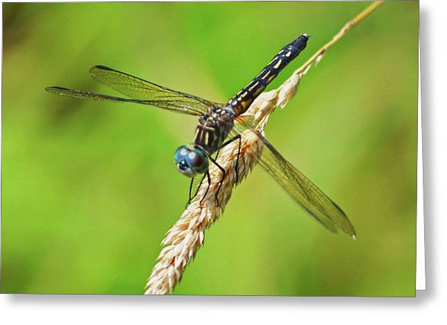 Greeting Card featuring the photograph Meadowhawk by Rodney Campbell