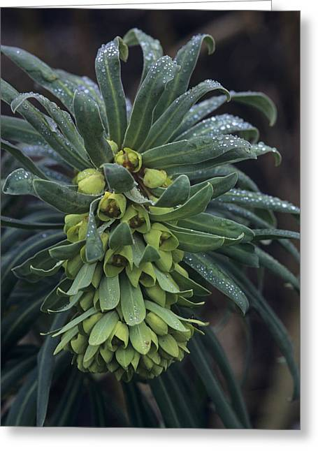 Mediterranean Spurge Greeting Card