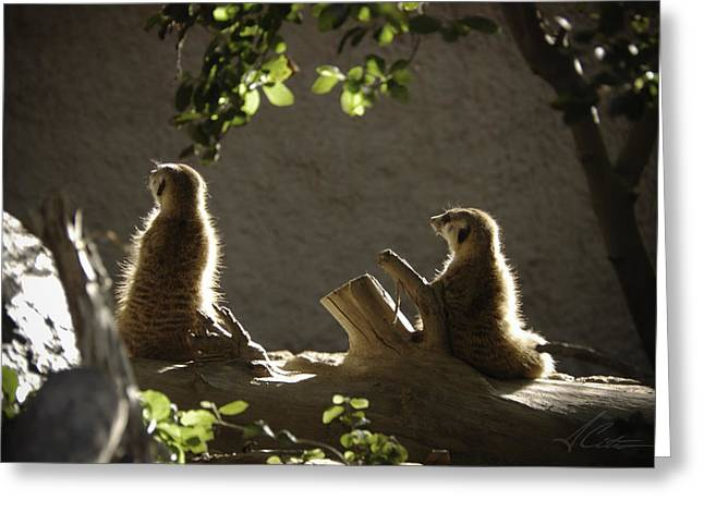 Meerkat Greeting Card by Anthony Citro