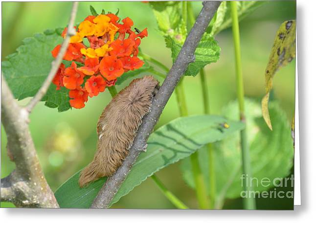Meet The Puss Moth Caterpillar Greeting Card by Kathy Gibbons