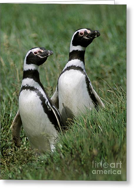 Greeting Card featuring the photograph Megellanic Penguin Couple - Patagonia by Craig Lovell