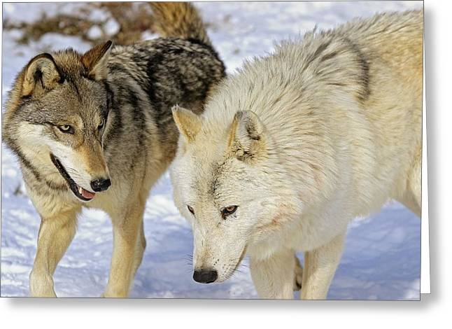Members Of Wolf Pack Greeting Card by John Pitcher
