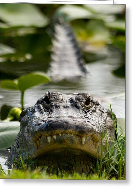 Menacing Gator Greeting Card by Andres Leon