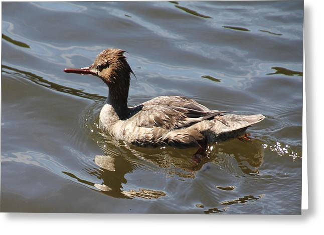 Merganser Duck Greeting Card by Rosalie Scanlon