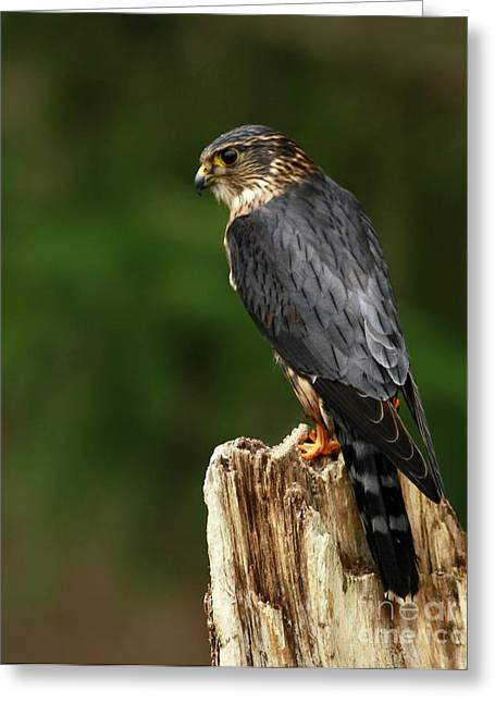 Merlin Look Out Greeting Card