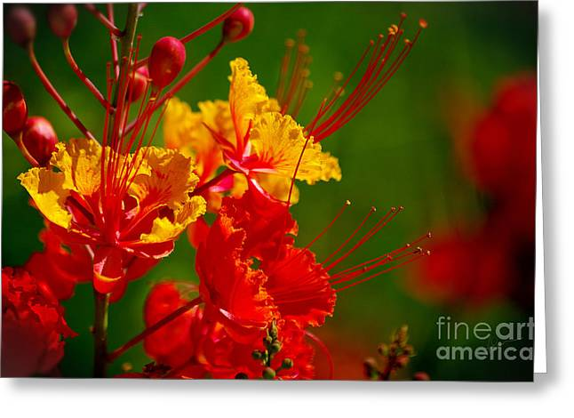 Mexican Bird Of Paradise Greeting Card