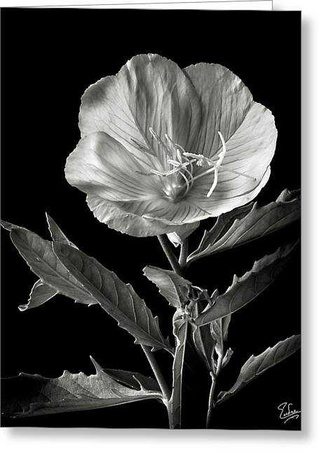 Greeting Card featuring the photograph Mexican Evening Primrose In Black And White by Endre Balogh