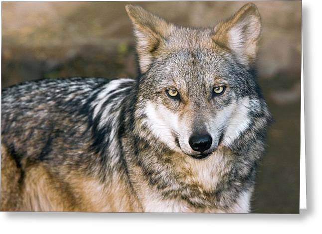 Mexican Gray Wolf Greeting Card by Bob Gibbons