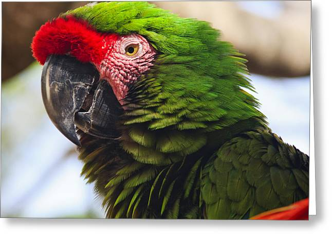 Military Macaw Parrot Greeting Card