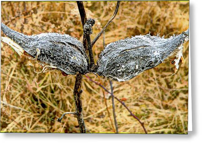 Milk Weed Pods Greeting Card