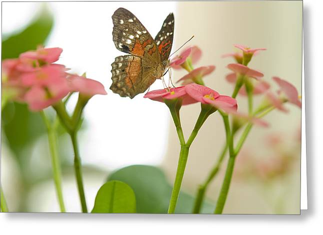 Milkweed Butterfly Greeting Card by MaryJane Armstrong